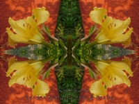 Lily yellow kaleidoscope