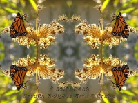 Monarch on queen annes lace kaleidoscope