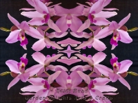 Orchid purple kaleidoscope