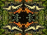 Swallowtail butterfly on black kaleidoscope