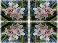 White and pink cymbidiums kaleidoscope