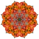 California poppy Sally Holmes rose mandala