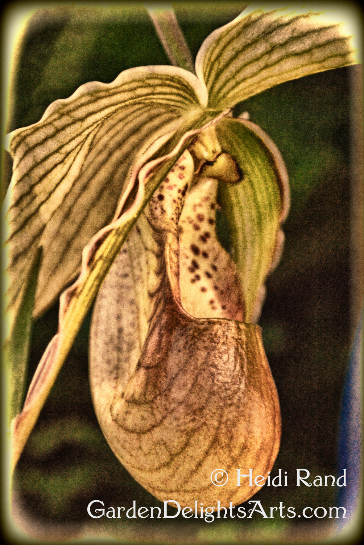 Ladyslipper orchid