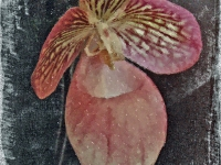 Ladyslipper Magic Lantern