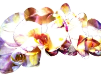 White Phalaenopsis Collage