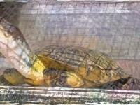 Pond turtle drawing
