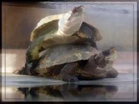 Pond turtles basking