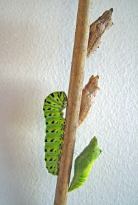 Anise swallowtail caterpillar and chrysalises