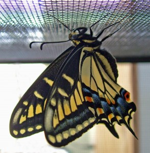 Anise swallowtail butterfly emerged from chrysalis
