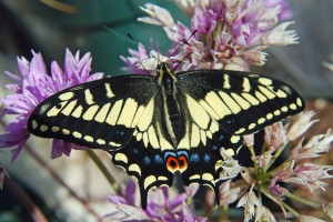 Anise swallowtail butterfly on allium flower