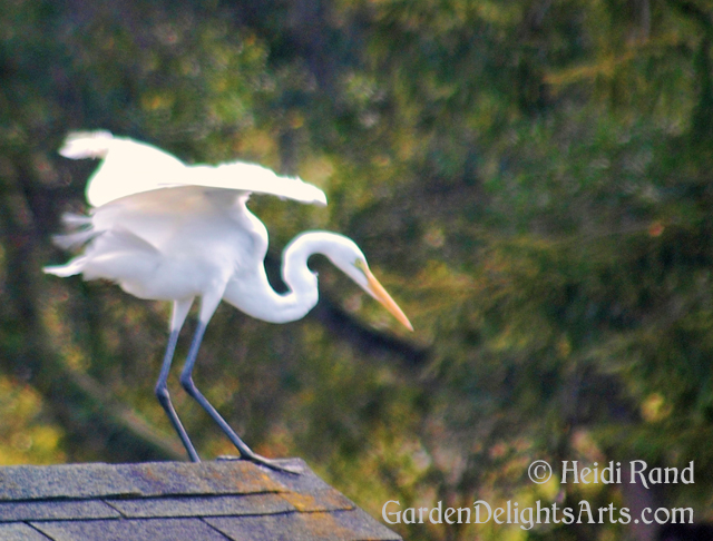 Great White Egret visits our garden