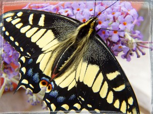 Anise swallowtail butterfly on buddleia flower
