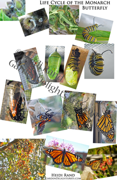 Life cycle of the monarch butterfly poster