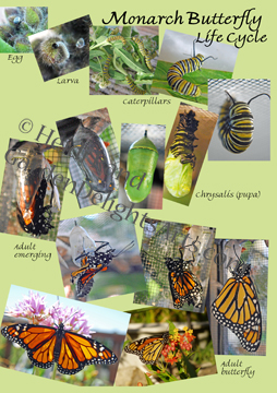 Monarch life cycle card
