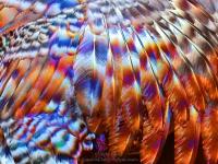 Feathers wild