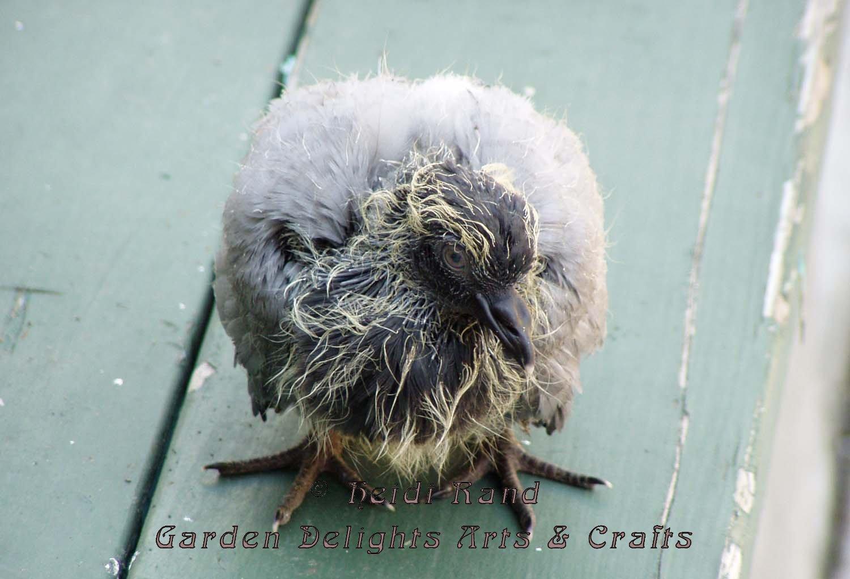Baby pigeon