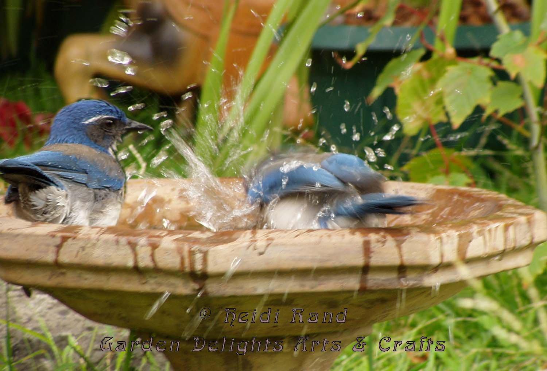 Jays in bird bath