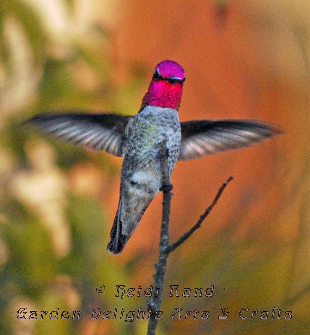 Hummingbird wingspread