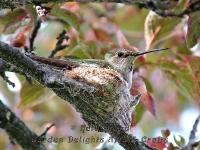 Hummingbird mother on nest
