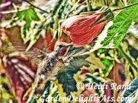 Hummingbird at abutilon flower