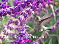 Hummingbird at Mexican Sage