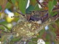 Hummingbird babies in nest
