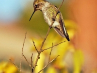 Hummingbird on twig