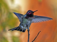 Hummingbird with outstretched wings