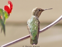 Hummingbird on vine