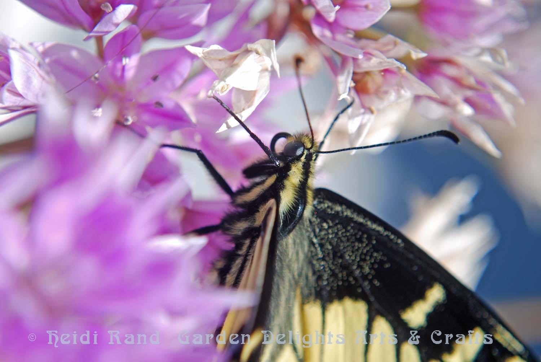 Swallowtail butterfly closeup on allium flower
