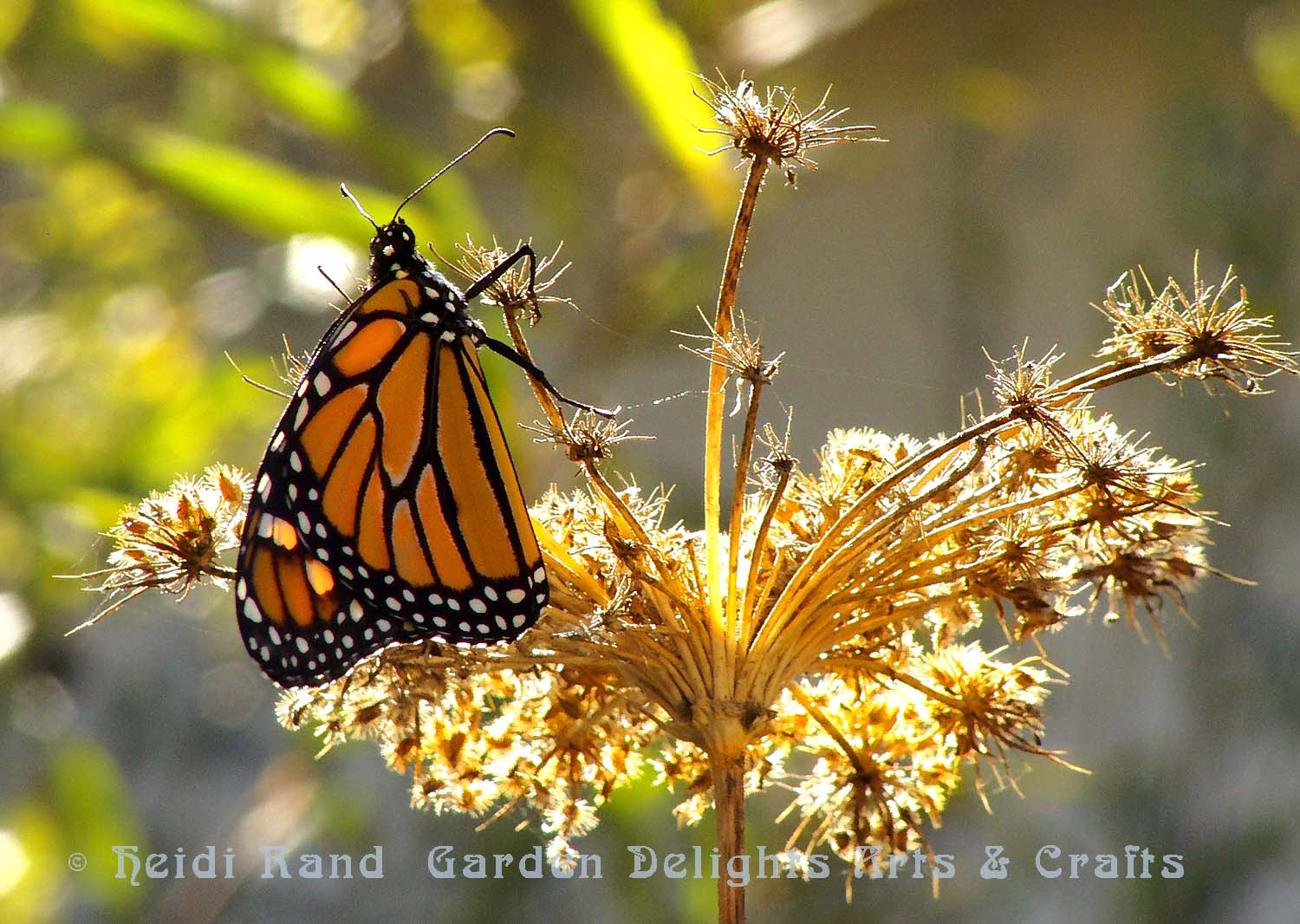 Monarch butterfly on Queen Anne\'s lace
