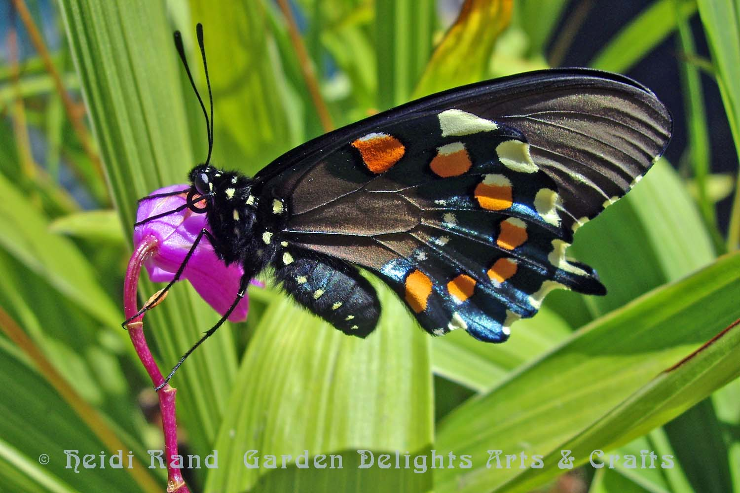 Pipevine swallowtail on bletilla