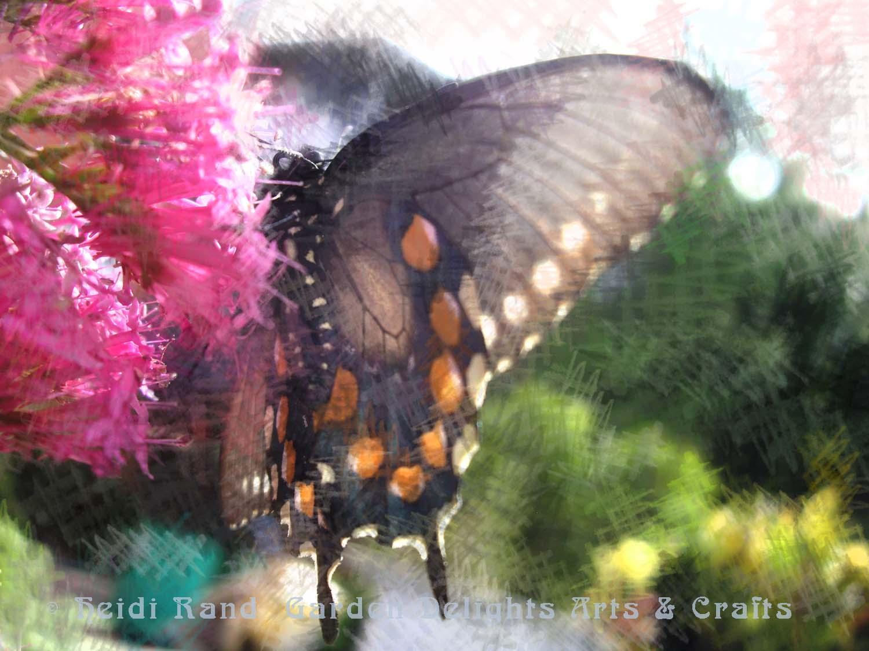 Pipevine swallowtail on buddleia