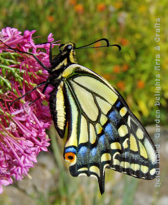 Swallowtail butterfly side on butterfly bush