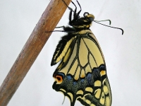 Swallowtail butterfly on stick