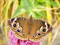 Buckeye butterfly on flower