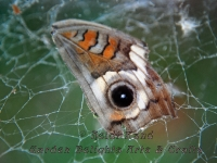 Buckeye butterfly wing in spider web