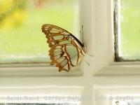 Yellow butterfly in window