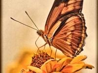 Julia butterfly on zinnia