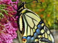 Swallowtail butterfly side on butterfly bush