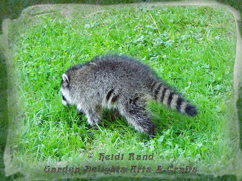 Racoon at Tilden Park