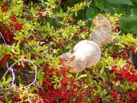 Squirrel in pyracantha tree