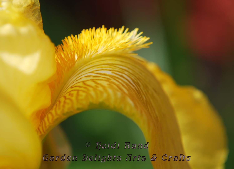 Bearded iris tongue