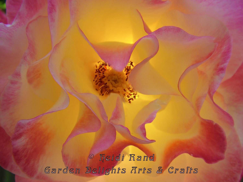 Double delight rose glow