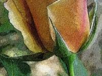 Butterscotch rose