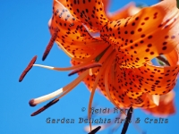 Leopard lily against blue sky