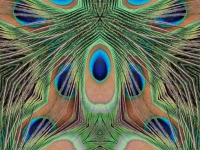 Peacock feathers eye