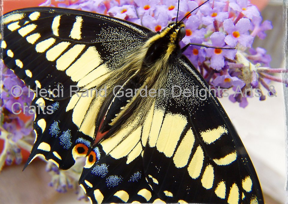 Anise swallowtail butterfly. Greeting card 1050