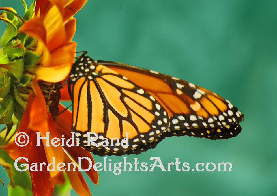 Monarch butterfly GR1058