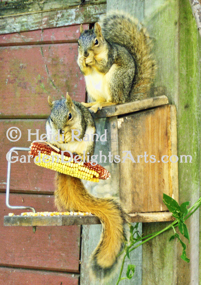 Squirrels at lunch GR 1361